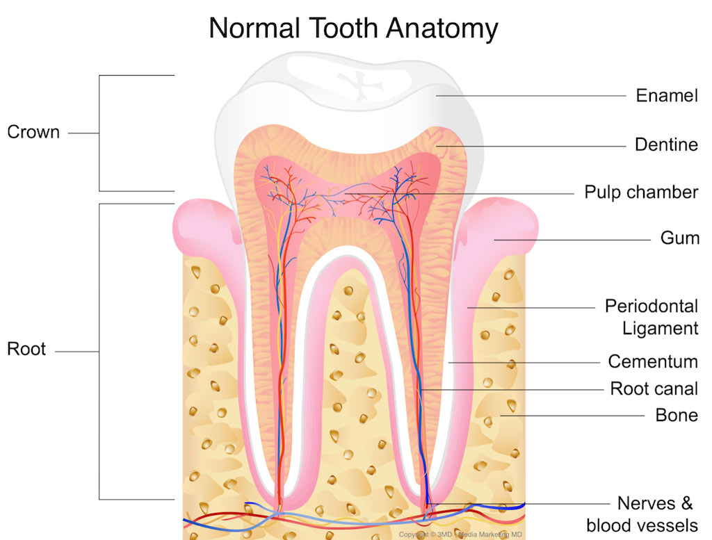 How Do Tooth Nerves Work To Signal Pain 6th Ave Periodontics